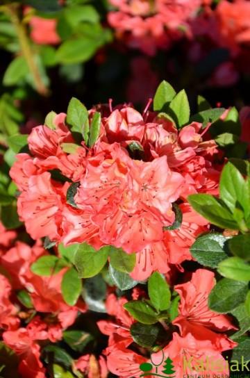 Rhododendron japanese azalea 'Geisha Orange'