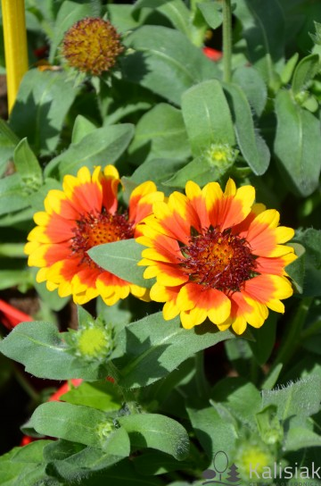 Gaillardia aristata 'Barbican Yellow Red Ring' (Gailardia)  - C2