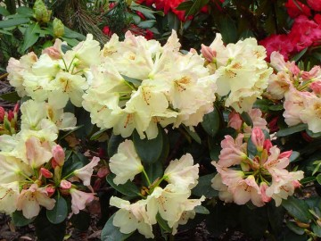 Rhododendron 'Lachsgold'