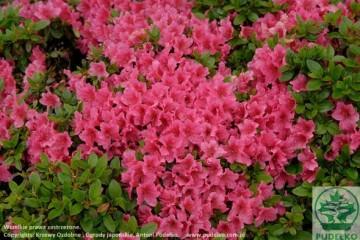 Rhododendron japanese azalea 'Michiko' (Azalia japońska) - C2