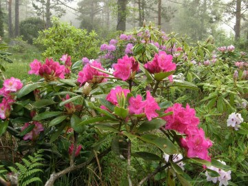 Rhododendron 'Pearce's American Beauty' (Różanecznik) - C7,5