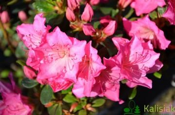 Rhododendron japanese azalea 'Katja'
