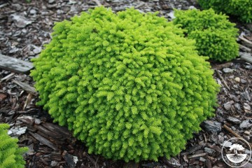 Picea abies 'Little Gem' (Świerk pospolity) - C2