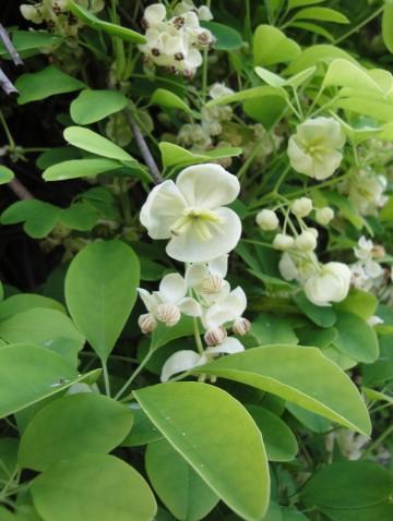 Akebia quinata 'Alba' (Akebia pięciolistkowa) - C2