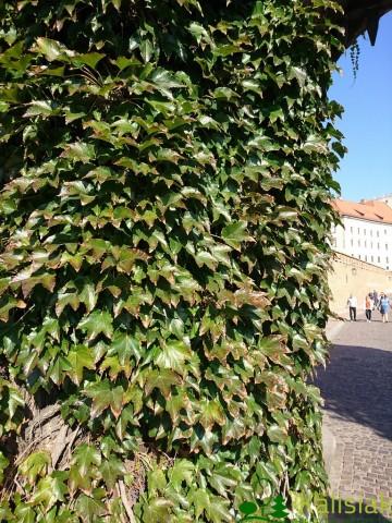 Parthenocissus tricuspidata 'Veitchii' (Winobluszcz trójklapowy) - C2