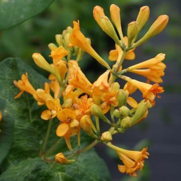 Lonicera x brownii GOLDEN TRUMPET 'Mintrum' (Wiciokrzew Browna) - C2