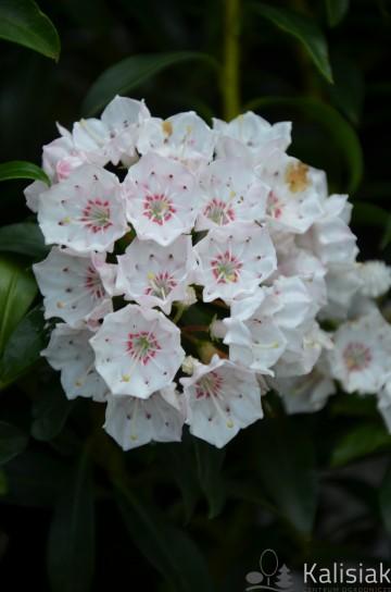 Kalmia latifolia 'Tyddlywinks' (Kalmia szerokolistna) - C3