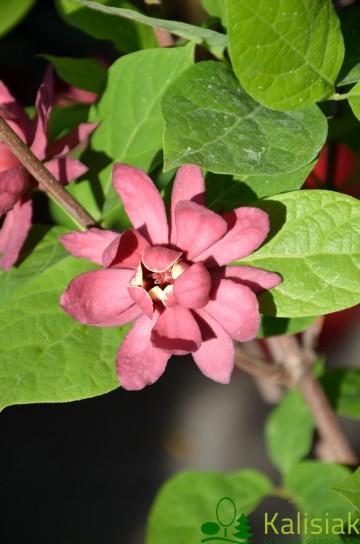 Calycanthus 'Hartlage Wine' (Kielichowiec) - C5