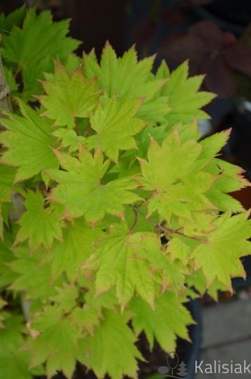 Acer shirasavanum 'Aureum' (Klon Szirasawy) - C5 bonsai
