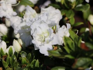 Rhododendron japanese azalea 'Eisprinzessin' (Azalia japońska) - C2