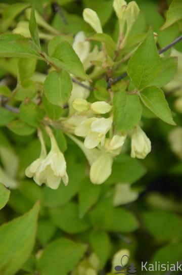 Weigela subsessilis 'Kanari' (Krzewuszka krótkoogonkowa) - C5