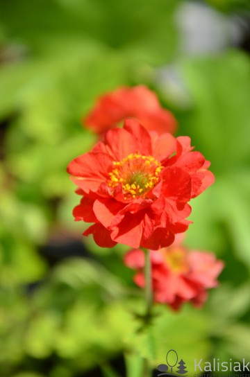 Geum chiloense 'Blazing Sunset' (Kuklik chilijski)  - C5
