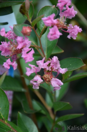 Lagerstroemia indica 'Petite Pink' (Lagerstremia indyjska)  - C5
