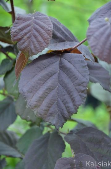 Corylus avellana 'Anny's Compact Red' (Leszczyna pospolita) - C5 PA