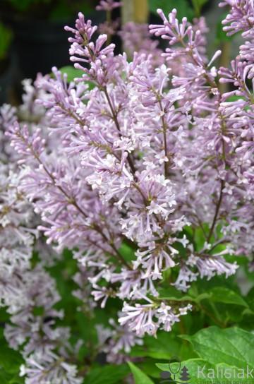 Syringa prestonianiae 'Jagienka' (Lilak ottawski) - C5