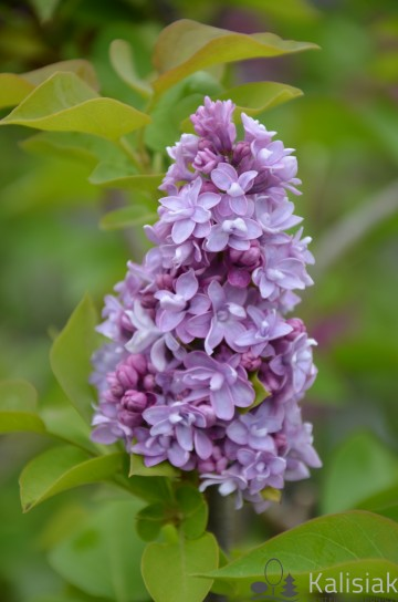 Syringa vulgaris 'Katherine Havemeyer' (Lilak pospolity) - C5