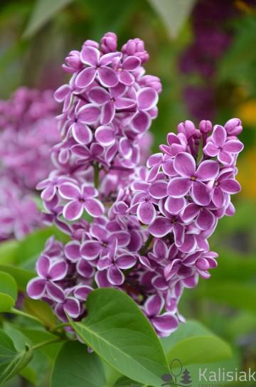 Syringa vulgaris 'Sensation' (Lilak pospolity) - C7,5
