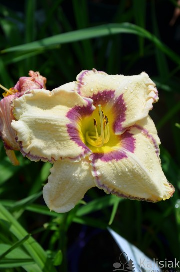 Hemerocallis 'Antique Linen' (Liliowiec)  - C2