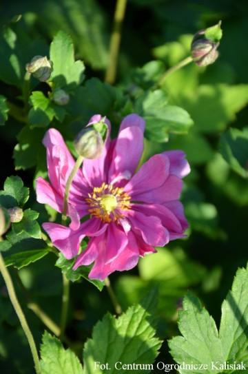 Anemone x hybrida 'Margarete' (Zawilec mieszańcowy) - C2