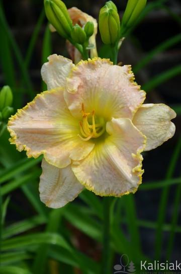 Hemerocallis 'Ed Brown' (Liliowiec ogrodowy) - C5