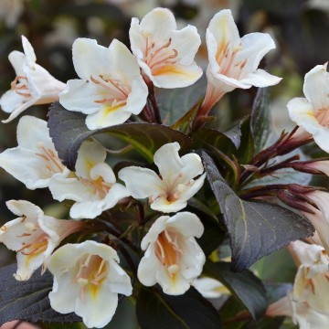 Weigela florida 'Ebony and Ivory'