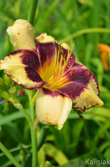 Hemerocallis 'Jamaican Me Crazy' (Liliowiec ogrodowy) - C5