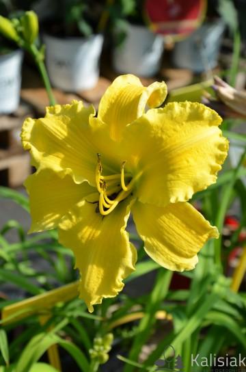 Hemerocallis 'Molokai' (Liliowiec ogrodowy) - C3