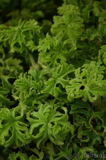 Pelargonium graveolens 'Lemon Tree' (Pelargonia pachnąca) - C1