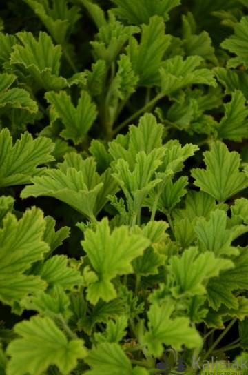Pelargonium graveolens 'Orange Fresh' (Pelargonia pachnąca) - C1