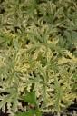 Pelargonium graveolens 'Lady Diana' (Pelargonia pachnąca) - C1