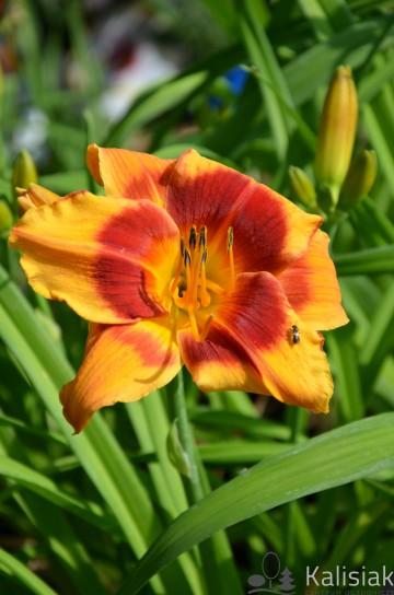 Hemerocallis 'Wawel' (Liliowiec) - C5