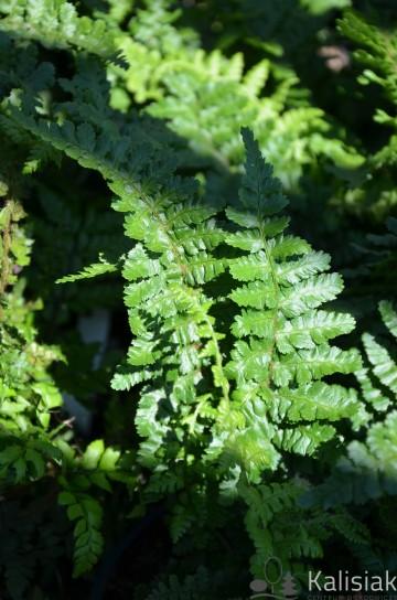 Dryopteris affinis 'Pinderii' (Nerecznica samcza) - C3