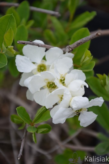 Exochorda 'The Bride' (Obiela)  - C2