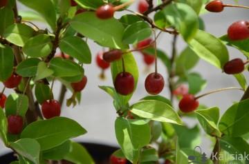 Elaeagnus multiflora 'Sweet Scarlet' (Oliwnik wielokwiatowy) - C5
