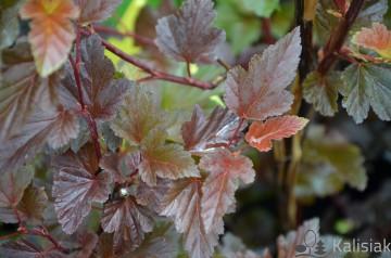 Physocarpus opulifolius ALL BLACK 'Minall2' (Pęcherznica kalinolistna) - C5