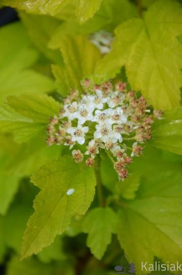 Physocarpus opulifolius ANGEL GOLD 'Minange' (Pęcherznica kalinolistna) - C3