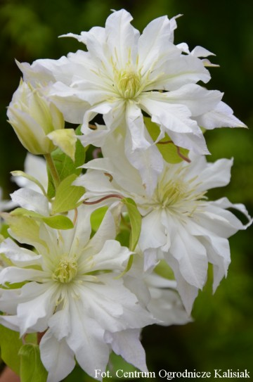 Clematis 'First Love' (Powojnik)  - C2
