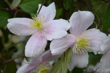 Clematis montana 'Mayleen' (Powojnik górski) - C2