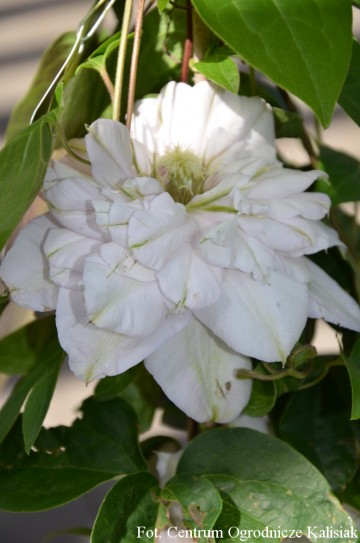 Clematis 'Innocent Blush' (Powojnik)  - C2