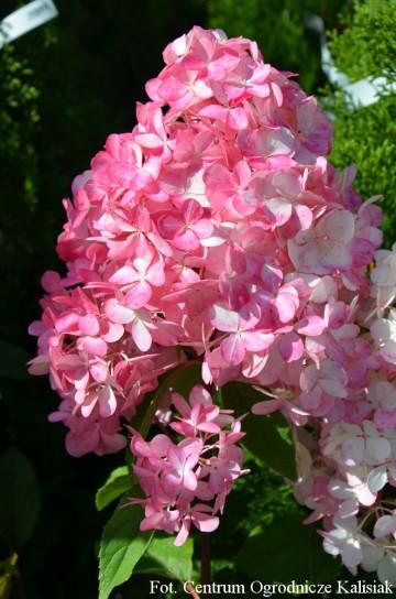 Hydrangea paniculata SUNDAE FRAISE 'Rensun' (Hortensja bukietowa) - C3
