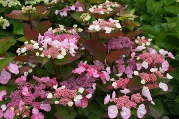 Hydrangea macrophylla DOLCE KISS 'Dolkis'