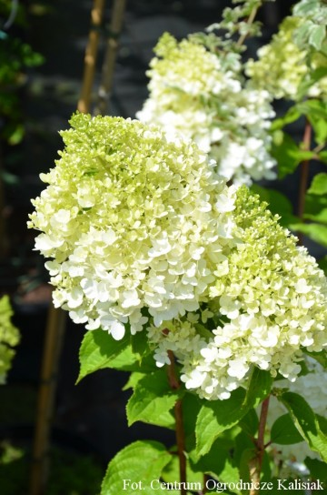 Hydrangea paniculata MAGICAL MOONLIGHT 'Kolmagimo'