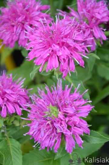 Monarda didyma 'Balmy Lilac' (Pysznogłówka dwoista) - C2