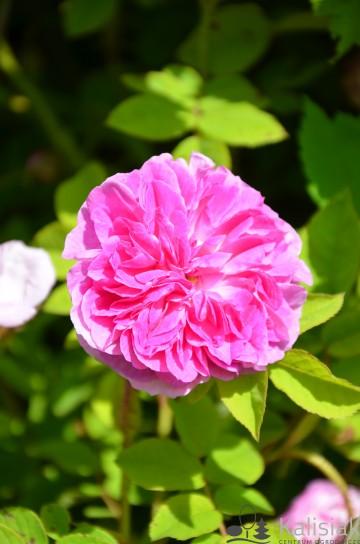 Rosa x damascena 'Blush Damask' (Róża damasceńska) - C3
