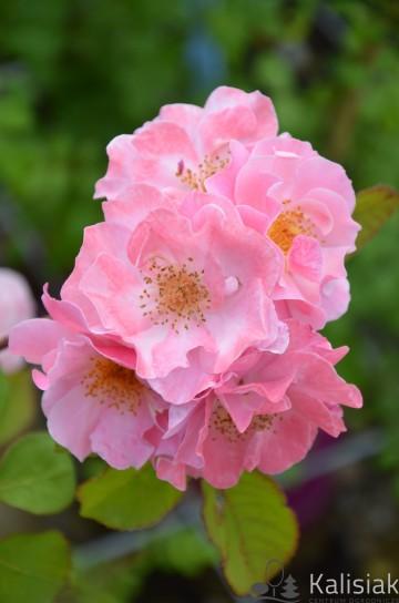 Rosa 'Clair Martin' (Róża pnąca) - C2