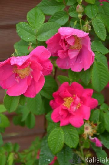 Rosa gallica 'Oficinalis' (Róża galicyjska) - C5