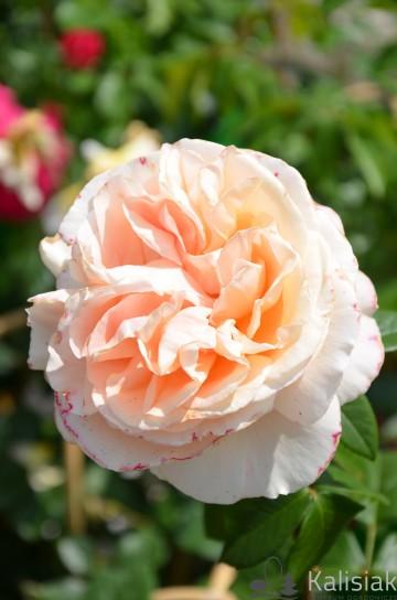 Rosa 'Candlelight' (Róża nostalgiczna) - C4
