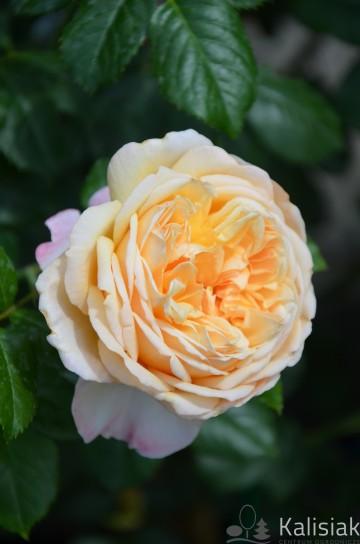 Rosa 'Capri' (Róża nostalgiczna) - C4