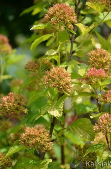Physocarpus opulifolius 'Luteus' (Pęcherznica kalinolistna) - C2