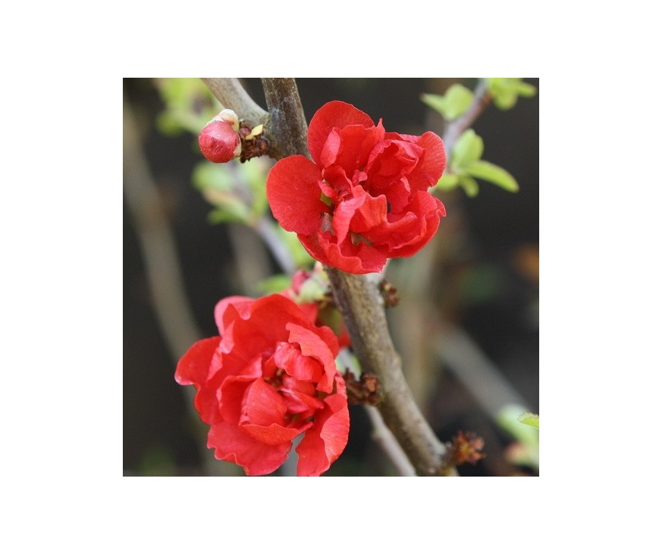 Chaenomeles japonica 'Red Joy'